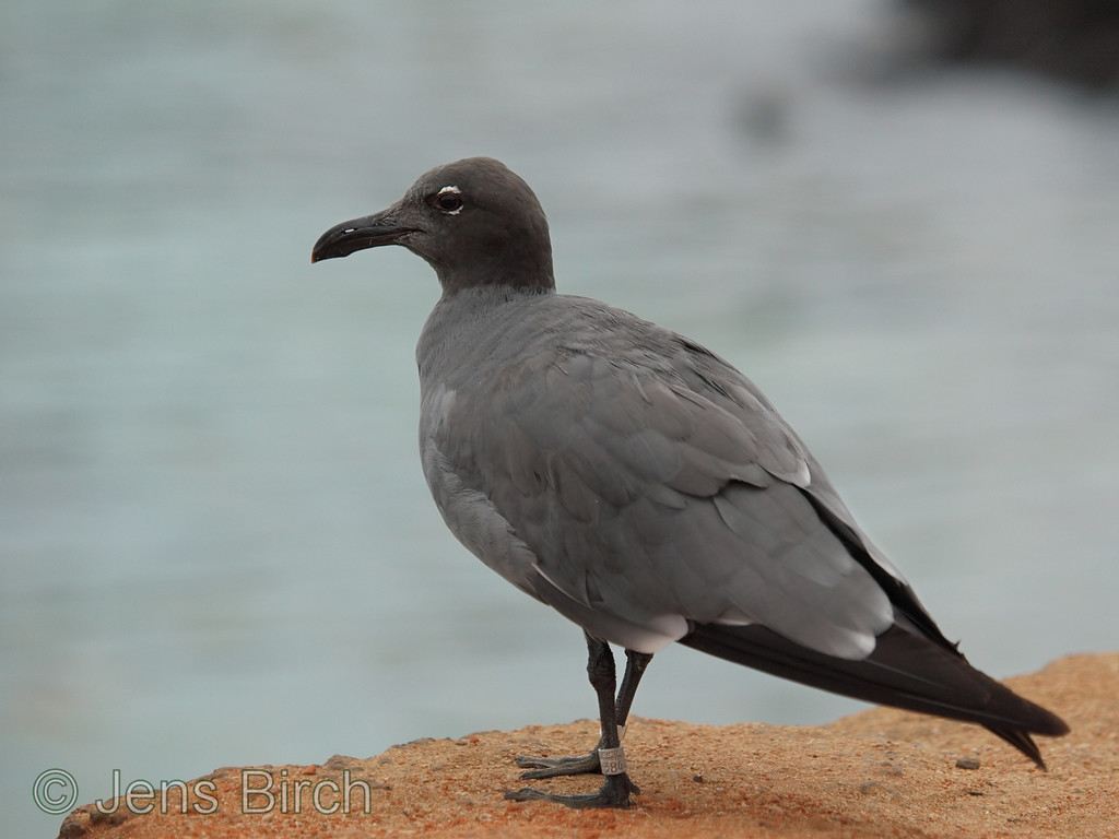 A lava gull - one of the worlds most rare birds. The world population is estimated to only 400 breeding pairs. Porto Ayora harbour.