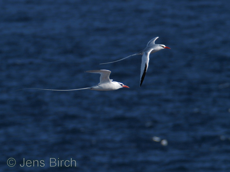 Red-billed tropicbirds are beautiful seabirds.