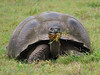 A giant land tortoise grazing in the highlands by Santa Rosa