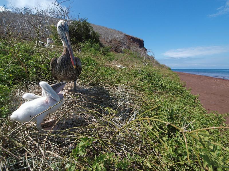 Pelican colony, Rabida