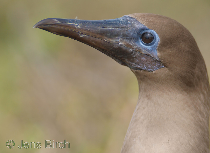 Red-footed booby - portrait.