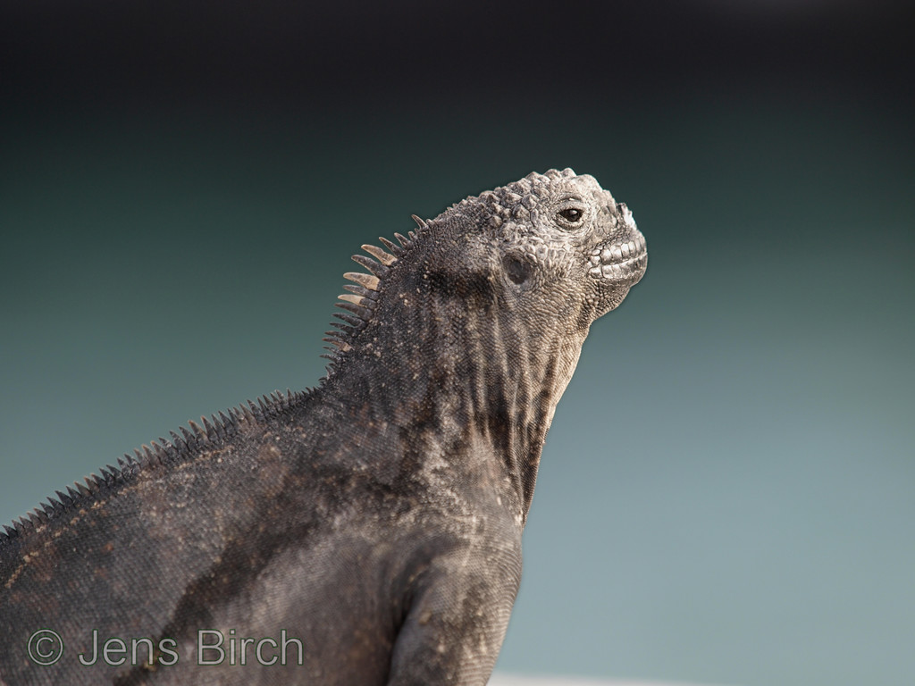 A marine iguana - one of the iconic and andemic species of Galapagos can be photographed already in the main town Porto Ayora.