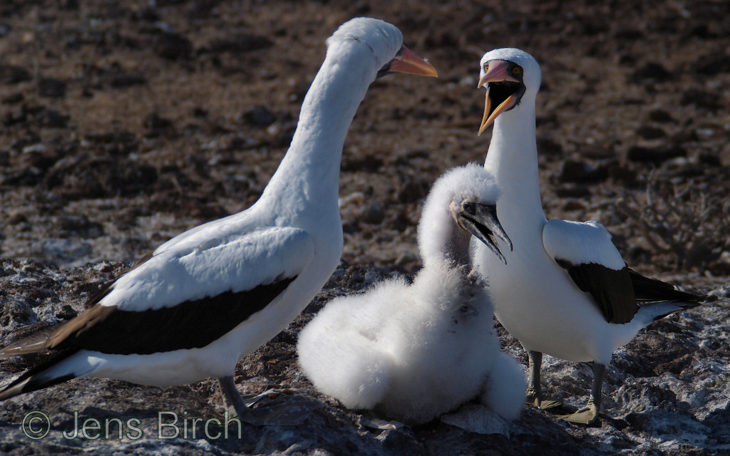 A small ritual of noise and movements are performed when the other parent arrives from sea with food for the nasca booby chick.
