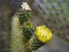 Opuntia (Giant prickly pear cactus) flower.
