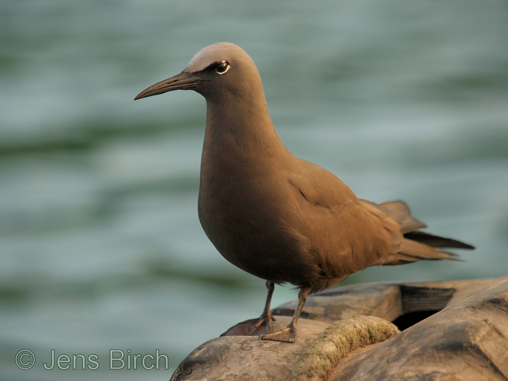 A brown noddy in the harbour of Porto Ayora.