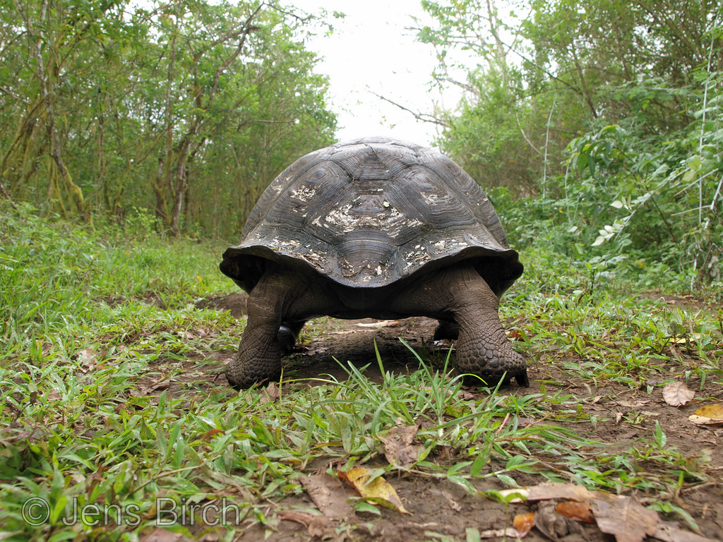 Thanks to total protection, the giant tortoises still walks on earth.