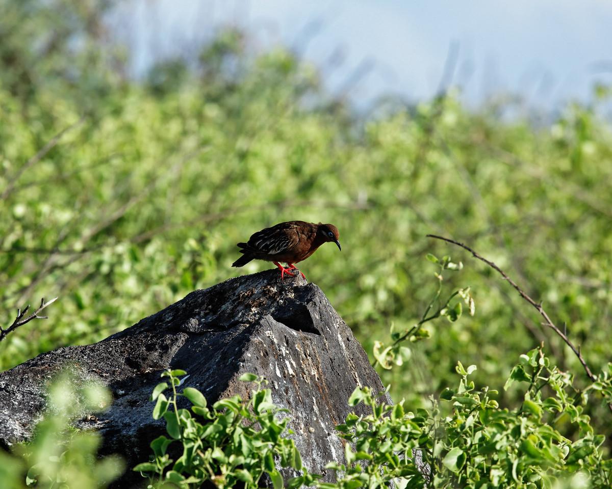 Galapagos Dove