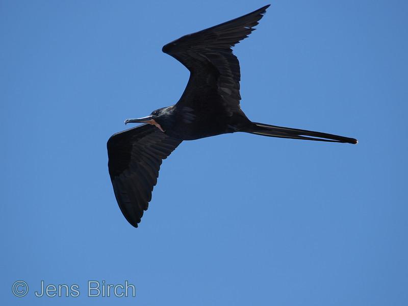 Male great frigatebird.