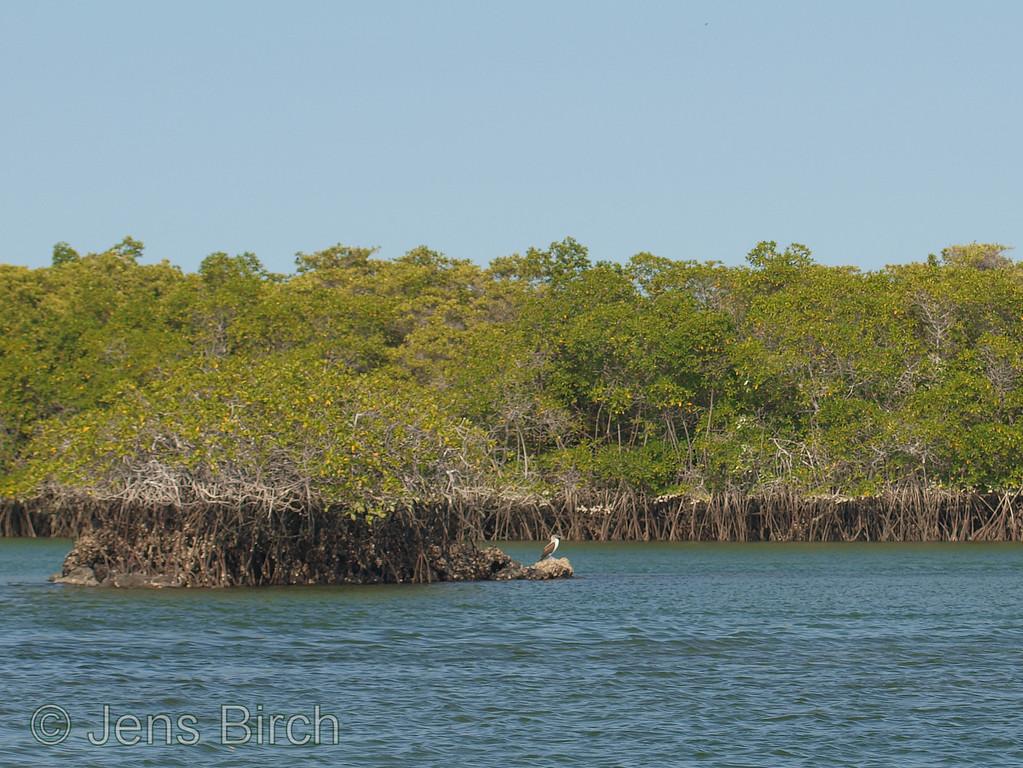 la Tortuga Negra mangroves.