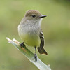 Galapagos flycatcher in the highlands around Santa Rosa