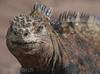 Marine iguana, Porto Ayora.
