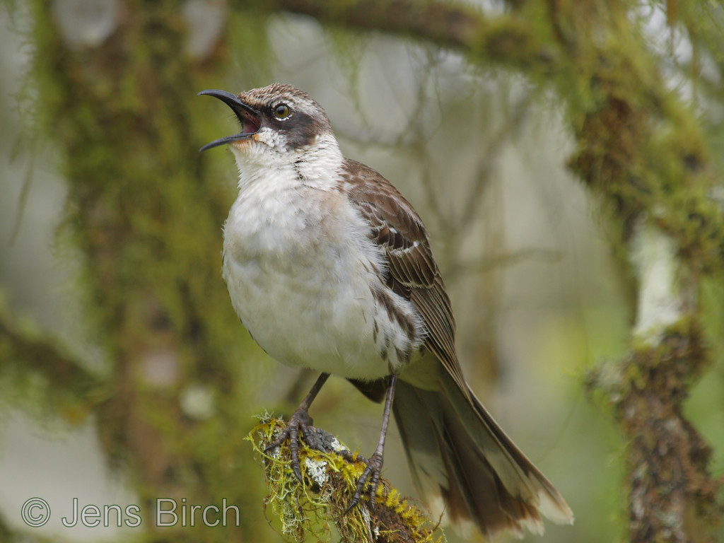 Galapagos mockingbird in the highlands close to Santa Rosa. The moss-covered branches is shows that the climate up here is quite humid.