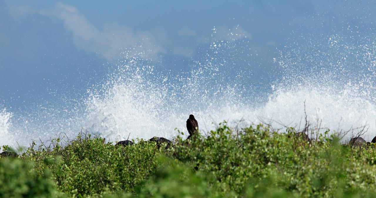 Another Galapagos Hawk and crashing waves