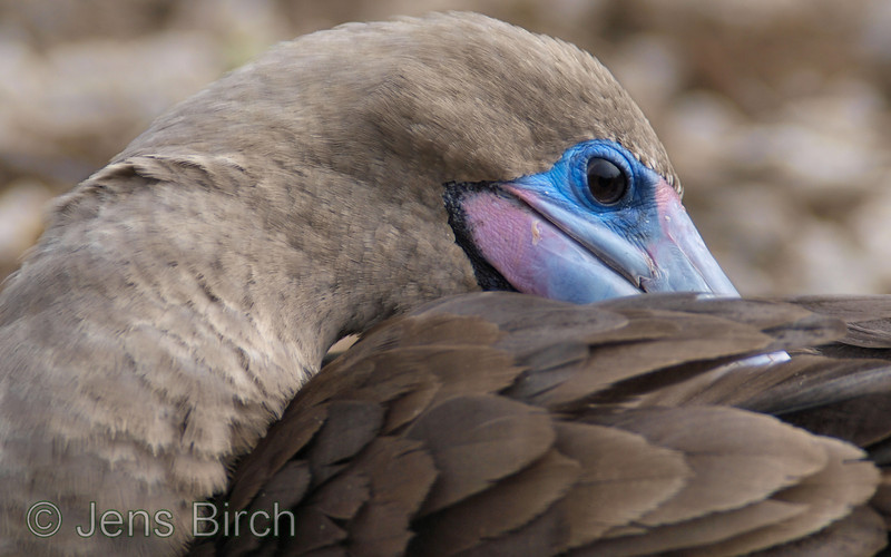 Red-footed booby preening.