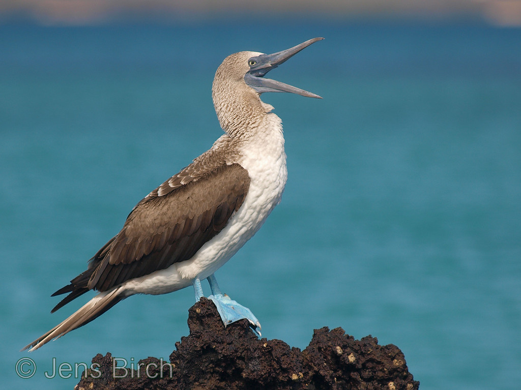 Blue-footed boobies are greeting us when we arrive to La Tortuga Negra.