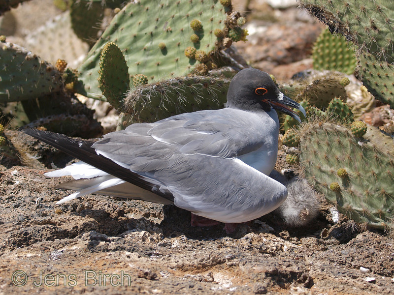 There is not much shelter for the swallow-tailed gull's chicks at Genovesa. One of the parents is shadowing it with the wings in order for it not to become too hot and suffer from dehydration.