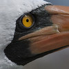 Nasca booby - up-close-n-personal.