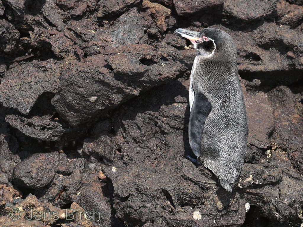 The Galapagos penguin is the only penguin species that breed on the northern hemisphere. However, we saw this one on Bartolomé, 31.7 km south of the equator. ;-)