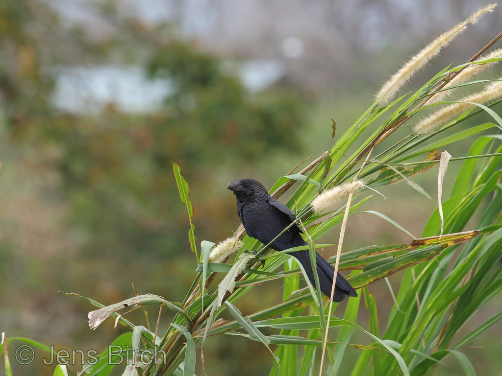 Smooth-billed Ani at Santa Rosa, Galapagos Islands,
