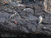 A marine iguana, a yellow-crowned night heron and some sally lightfoot crabs on the lava shore at Bartolomé.