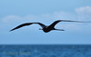 Male great frigatebird following the boat.