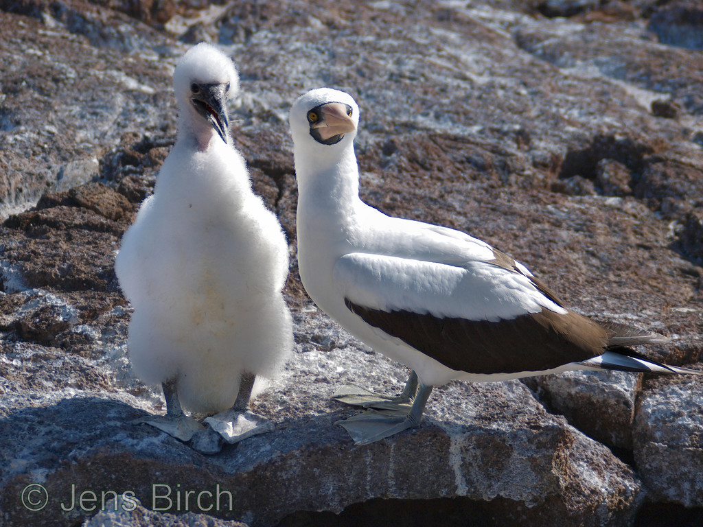 "A nasca booby  - parent to a ""teenager""."