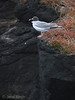Swallow-tailed gull.