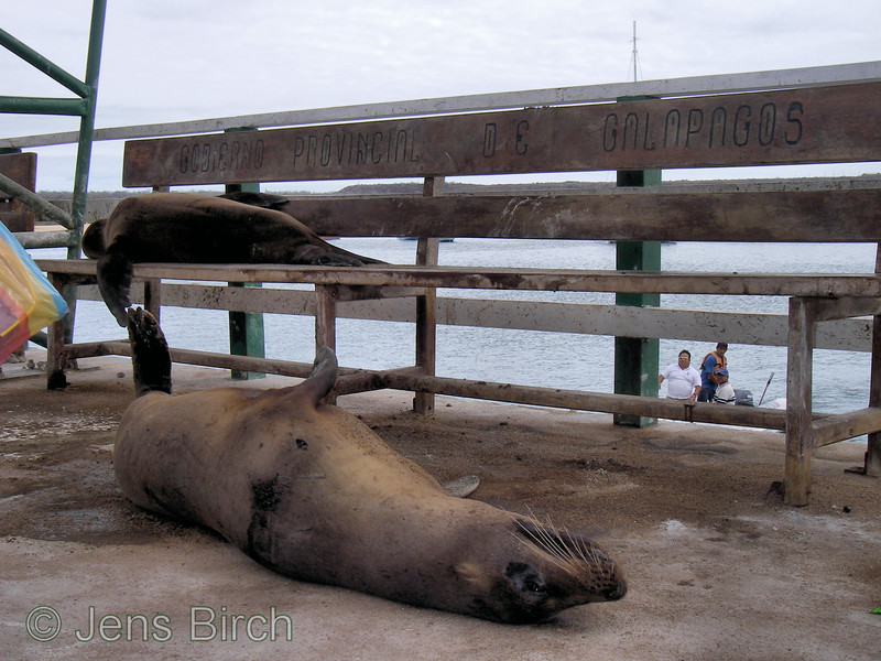 """Galapagos sea lions taking a rest at the benches at Baltra landing site with the inscription: """"GOBIERNO PROVINCIAL DE GALAPAGOS"""" - i.e., The governement of Galapagos..,"""