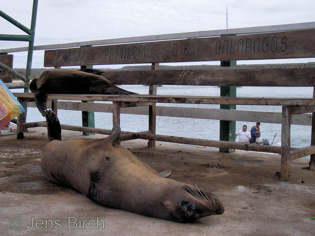 "Galapagos sea lions taking a rest at the benches at Baltra landing site with the inscription: ""GOBIERNO PROVINCIAL DE GALAPAGOS"" - i.e., The governement of Galapagos..,"