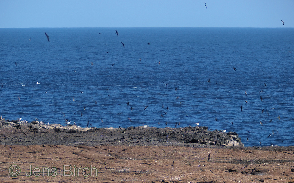 A super large bird colony at the north-east shore of Genovesa. The dark birds are Galapagos petrels and thge white ones are nasca boobies and tropicbirds.
