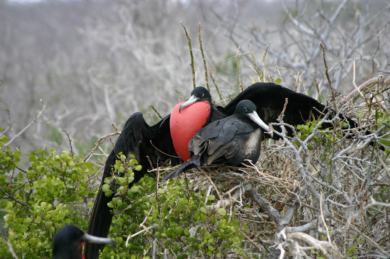 GREAT FRIGATE BIRDS COURTING