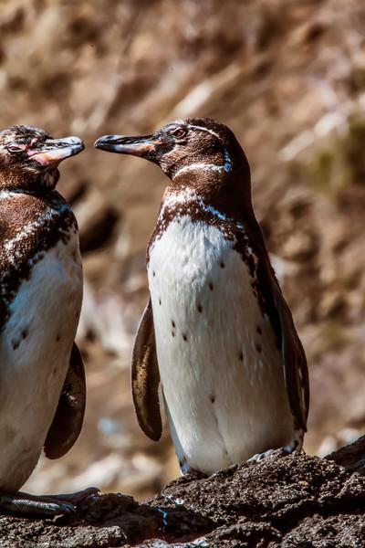 _MG_3655 Galapagos penguins   beak to beak