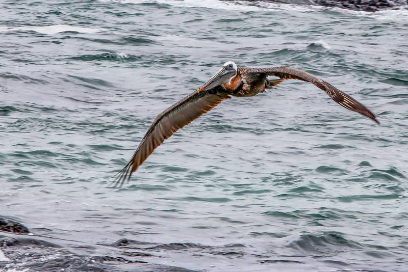 _MG_3610 brown pelican