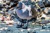 _MG_3294 Lava Gull, Leucophaeus fulginosis