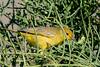 _MG_3534 yellow warbler Setophaga petechia aureola