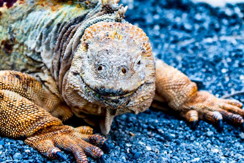_MG_3563 land iguana