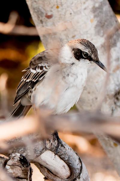 _MG_3570 Galapagos mockingbird  Nesomimus parvulus