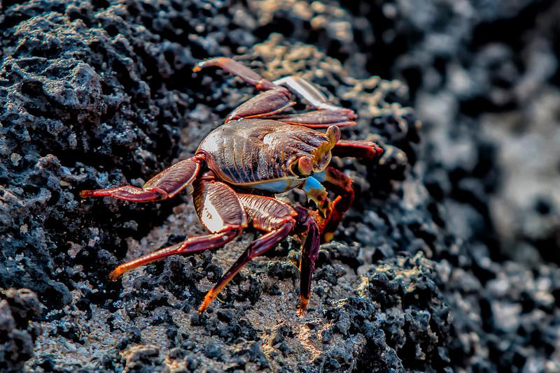_MG_3457Sally lightfoot crab  Grapsus grapsus