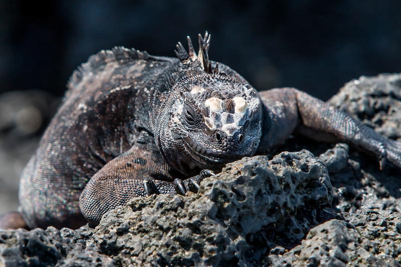 _MG_3393Amblyrhyncus cristatus,    marine iguana