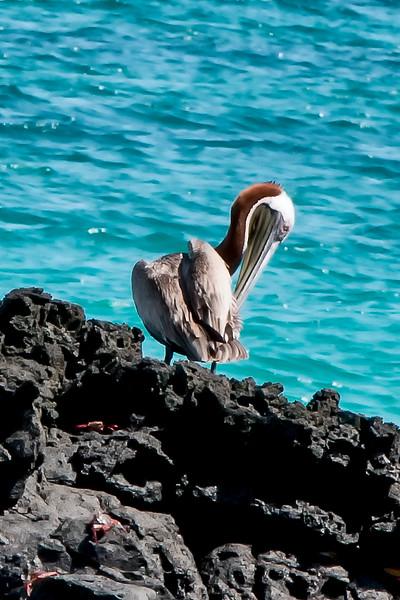 _MG_3408  Pelicanus occidentalis ,brown pellican