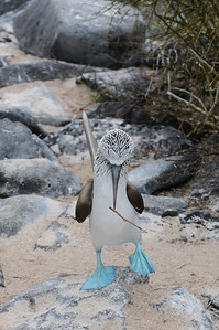 Blue Footed Boobie Courtship