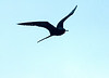 Male Frigate Bird in flight