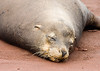 Sleeping young sea lion