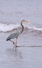 Great Blue Heron chasing the waves
