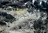 Sparse vegetation - Dry Tiquilia