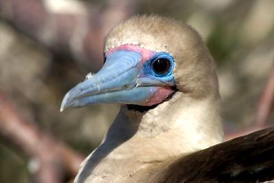 Galapagos (24 August 2008) - Genovesa Island