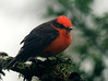 Vermilion Flycatcher- territorial bird- guarding his domain fiercely though little in size