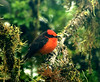 The Beauty - Vermiliion Flycatcher