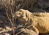 The large Santa Fe Iguana