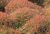 Colorful Ground cover (Sesuvium)